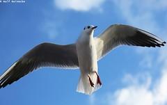 Seagull - Piran January 2017 08 (reineckefoto) Tags: seagulls piran sea blue sky bird