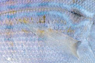 Pinfish Detail