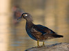 2017-01-14  P9550433 Hen Wood Duck (Tara Tanaka Digiscoped Photography) Tags: woodduck gh4 manualfocus shallowdof nikon300mmf28 cypressswamp florida bird