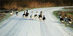walking down the street........... (atsjebosma) Tags: geese ganzen vogels gans goose street snow straat sneeuw winter 2017 atsjebosma leekstermeer groningen thenetherlands fun birds ngc npc