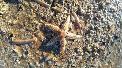Starfish and Brittle star II