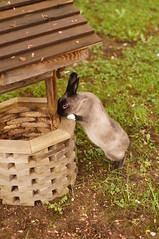 Toki making a wish. (Tjflex2) Tags: toki bunny rabbit lapin fuzzy conejo furry pet