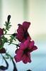 Late summer (kcoretep) Tags: summerflowers flowers minoltamaxxum9xi 50mmf17 kodakportra kodakportra800