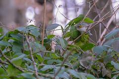 Roitelet huppé (femelle)_Regulus regulus (MARTIN FRED) Tags: roitelet huppé birds oiseaux sauvage nikon sigma150600sport foret nature europe petit bird pins résineux forêt