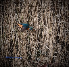 Kingfisher in flight. (Albatross Imagery) Tags: photographer photography photo nikkor nikon hampshire lepecountrypark wildbirds wildlife flickr instagram beautiful rspb birdsinflight birds bird kingfisher
