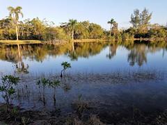 Sunset Approaching (Helenɑ) Tags: biscaynebay coralgables miami florida mathesonhammockpark dadecounty park pond coconuttree samsungsmg935a samsunggalaxys7edge sunshinestate trees sunset mangrove