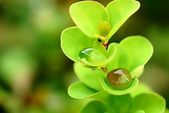 *** (pszcz9) Tags: polska poland przyroda nature natura liść leaf kropla waterdrop raindrop zbliżenie closeup bokeh beautifulearth sony a77