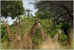_DSC5512PJ_resultat (http://phj.bookfoto.com/) Tags: botswana philippe jubeau afrique delta okavango girafe