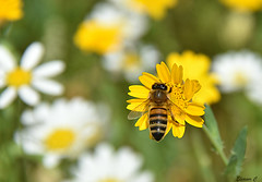 A Summer Memory for the Weekend (Eleanor (No multiple invites please)) Tags: yellow flower bee wildflowers hydepark london nikond7100 july2016