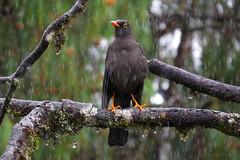 Turdus fuscater (Wilmer Quiceno) Tags: turdusfuscater greatthrush mirla turdidae zorzal jardin aves birds birding