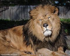 Panthera leo (Ignacio Ferre) Tags: madrid spain españa zoo zoodemadrid león pantheraleo panthera lion mammal mamífero animal nikon retrato portrait