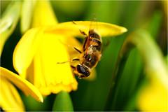 Early Visitor (Hindrik S) Tags: daffodil titelroas narcis narcissus yellow giel geel gelb insect ynsekt bee bij ealjebij biene macro skepping schepping creation schöpfung nature natuur natuer closeup plant flower blom blume bloem bloei blossom spring foarjier maitiid voorjaar lente frühling sonyphotographing sony sonyalpha a57 α57 slta57 tamron tamronspaf90mmf28dimacro 90mm f28 iso100 1640