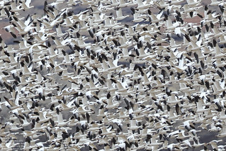 Snow Goose (Chen caerulescens) Bernardo Wildlife Area, New Mexico, U.S. 2017