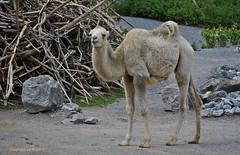 Ich werde auch mal gross .. ;))) * I'm also getting big .. ;))) * Voy a veces grande .. ;)))    .   DSC_6535-1 (maya.walti HK) Tags: 150317 2011 animales animals camel camello camelusbactrianus copyrightbymayawaltihk flickr hauskamelcamelusbactrianus jungtier juveniles nikond3000 tiere trampeltier zoozúrich zoozürich zoozurich