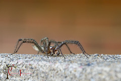 Friendly Wolf Spider (livininfrostytown) Tags: roy bug insect spider utah big creepy wolfspider rockfence 8legs frostytown charmedimpressions