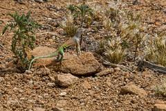 Greater Earless Lizard (Stephen J Pollard (Loud Music Lover of Nature)) Tags: largartijasordamayor greaterearlesslizard reptile réptil cophosaurustexanus nature naturaleza fauna wildlife