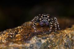 (~julien~) Tags: spider jura araigne 6d 2015 salticidae 65mpe saltique julienbarbe julienbarbe