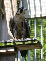 Peregrine Falcon On A Ledge (amyboemig) Tags: summer birds vermont natural hawk center science institute raptor falcon vt vins peregrine