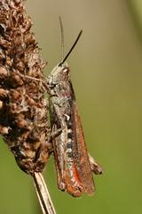 Field Grasshopper (Chorthippus brunneus) (former-extog) Tags: mygarden wfc 2015 fieldgrasshopper chorthippusbrunneus welshflickrcymru bbcwalesnature canonef100mmf28lmacroisusm ©mikemccarthy2015