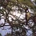 White-eared Bulbul (Pycnonotus leucotis)