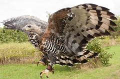 Wingspread (phillipbonsai) Tags: hertfordshire africancrownedeagle stephanoaetuscoronatus cjbirdsofprey