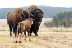 Family portrait (Alan Vernon.) Tags: family portrait male female fur mammal cow buffalo bullock adult coat young grand bull ox mature american valley wyoming plains immature tetons calf bison bovine reproduction grasslands rut
