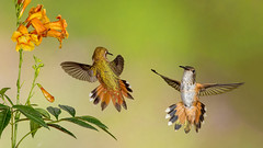 Dr. Livingston, I presume (Eric Gofreed) Tags: arizona hummingbird ngc sedona npc mybackyard villageofoakcreek rufoushummingbird broadtailedhummingbird