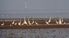 Egrets DB MP J5 18.5mm stx85 720p 14Sep 2015 (neilfif11) Tags: birds hongkong video migration mudflats digiscoping egrets maipo cattleegrets videoscoping nikon1185mmlens swarovskistx85mmscope nikonj5