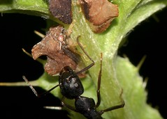 ants farming tree hoppers (laurie_frisch) Tags: bug insect insects iowa bugs treehopper cedarrapids treehoppers