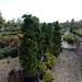 10 Hinoki cypress
