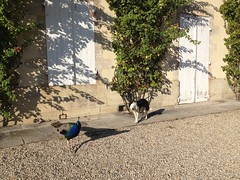 Vendanges 2015 au Château Guiraud (c) Château Guiraud