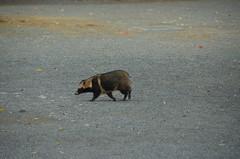 DSC_1512 (My many travels) Tags: japan tokyo shrine shibuya tanuki   raccoon  shinto meiji jingu