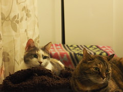 P5150003 (Raccoon Photo) Tags: cats cute sisters funny catsisters sissies adoptacat