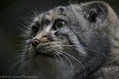 Pallas cat at Cotswold Wildlife Park (RebeccaLouise Photography) Tags: nature cat grey zoo asia conservation whiskers felines endangered bigcats protect bestofcats cotswoldwildlife