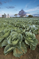 Flagstone Creek Farm (andrewfuller62) Tags: rural landscape farm cabbage jacaranda cabbages jacarandatree