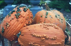 Pumpkins (Sara E Beach) Tags: autumn orange fall texture film pumpkin bumpy filmphotos flm