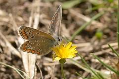 DSC_0833 bruin blauwtje, Aricia agestis, Azuré brun, Brown Argus, Kleine Sonnenröschen-Bläuling