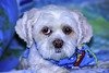 PRINCESS KILLED AT THE GROOMER (OdeteCondeOliveira) Tags: dog pet store strangled groomer boubahs