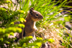 Little Chippy (West Leigh) Tags: sunlight cute green nature animal sunrise washington furry glow northwest little sweet bokeh small dream sunny explore chipmunk pacificnorthwest naturalbeauty mtrainier chippy wander discover canoneos7d