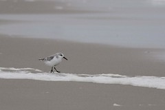 _DSC5943 Drieteenstrandloper : Becasseau sanderling : Calidris alba : Sanderling : Sanderling