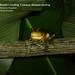 Baudin's treefrog, Smilisca baudini