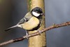 Great tit (Happy snappy nature) Tags: greattit bird small tiny beautiful nature wildlife outdoors oakengateswoods shropshire uk sunnyday canon80d sigma150600c