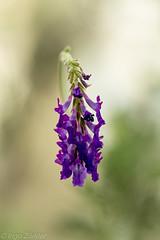 Lavendel / lavender (izoerkler) Tags: makro blumenundpflanzen macro ricoh nature closeup kmount pentax outdoor draussen lavendel natur lavender pentaxk1 smcpentaxdfamacro100mmf28wr dephtoffield plant bokeh depthoffield schärfentiefe