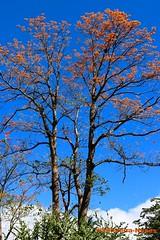 Ahuejote, Mulungu, San Salvador (ssspnnn) Tags: erythrina mulungufabacea arbol arvore floweringtree spnunes nunes snunes spereiranunes sansalvador elsalvador canoneos70d erythrinaverna erythrinamulungu habit