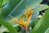 yellow bird of paradise (cbonsig) Tags: costarica guanacaste samara provinciadeguanacaste cr