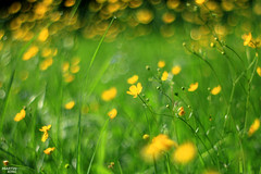 Morning Poetry (martin_king.photo) Tags: morning poetry with buttercups spring dreams bokehlicious bokeh oldlens meadow everywhere highlands czech republic field fields springfields vysočina poleloukyles forest tree exploreflickr explore outdoor scenery beautiful great view plant grass landside rural sunset goldenhour evening fieldpatterns canon dslrphoto plain grassland flickrphoto magic magical glorious light lightsandshadows nature depthoffield inexplore českárepublika krasnazem photo atmosphere moment wonderland earlymorning moravian region colours coloursofmoravia lines landscape favorite europe shots martinkingphoto vintagelenses