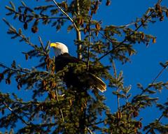 Local eagle