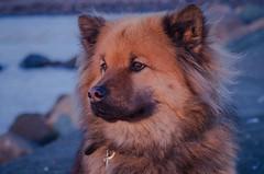 Eurasian dog (frankmh) Tags: portrait animal dog eurasian hittarp helsingborg skåne sweden outdoor
