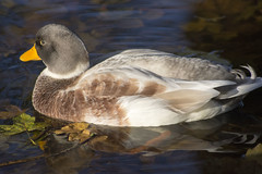 (Glenn Pye) Tags: duck ducks birds bird wildlife nature martinmere wwt nikon nikond7200 d7200