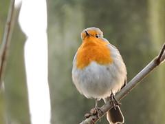 Robin (deannewildsmith) Tags: earthnaturelife robin